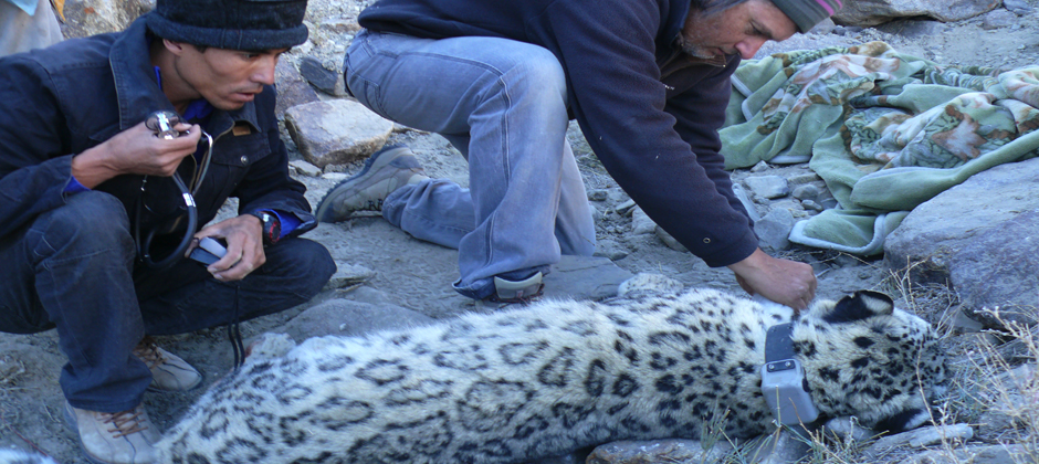 Tracking Snow Leopards